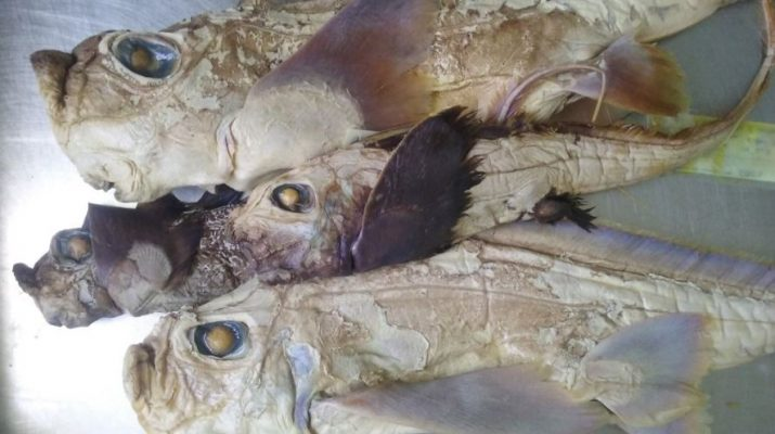 Chimaeroid specimens in need of species identification.