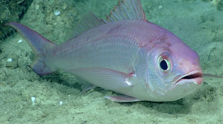 Figure 4. Commercially valuable queen snapper Etelis oculatus seen at a record depth of 539 m off the south shore of Puerto Rico.