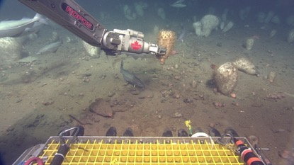 Figure 1. ROPOS arm collects Russian Hat sponge (Vazella pourtalesii) from the seafloor for research off Nova Scotia's coast (photo: CSSF using ROPOS Zeus-Plus HD camera)