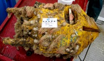 Figure 2. OTN receiver float covered in Vazella sponges, amongst other biofouling (photo: DFO)
