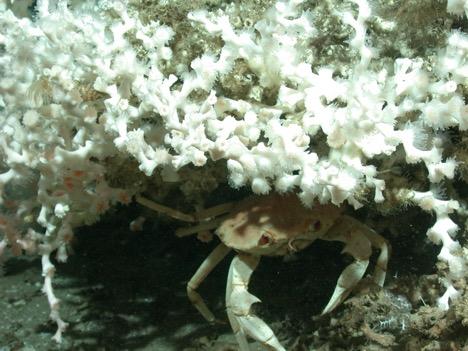 Figure 3. Golden crab hiding in deep-water coral reef (Lophelia) on the west Florida Slope (Credit: Ross et al. 2010 ROV Kraken, USGS DISCOVRE)