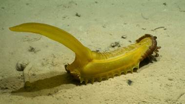 Figure 3 (bottom). A large abyssal sea cucumber (Psychropotes longicauda). Image courtesy of DeepCCZ Expedition.
